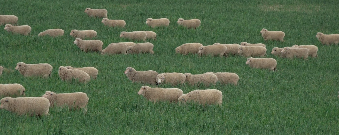 High Quality Image of Sheep